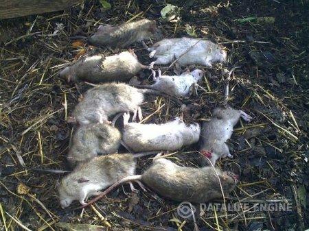Уничтожение крыс в Екатеринбурге